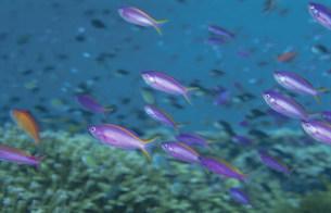海中のハナゴイとイソバとサンゴの写真素材 [FYI04061476]