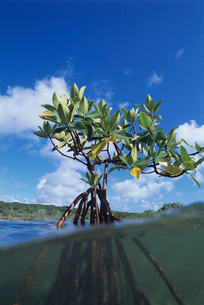 水中のマングローブの写真素材 [FYI04061587]