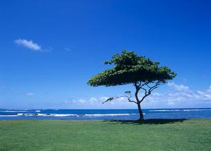 芝生と1本のヤシの木 オアフ島の写真素材 [FYI04061850]