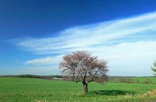 5月 一本桜と青空と牧場 北海道根釧台地の春の写真素材 [FYI04062008]