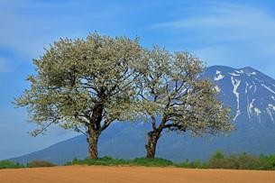5月 サクランボの桜と残雪の羊蹄山の写真素材 [FYI04062055]