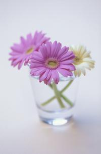 グラスに生けたピンクガーベラ2本と白ガーベラ1本の写真素材 [FYI04063930]