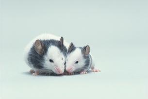 パンダマウス2匹の写真素材 [FYI04063976]