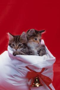 2匹のネコとクリスマスの写真素材 [FYI04063979]