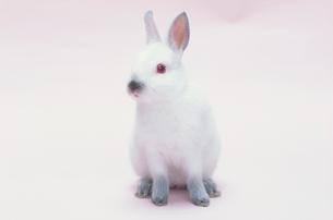 ウサギ(ヒマラヤン)の写真素材 [FYI04064228]