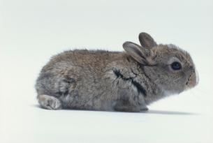 ウサギ(雑種)の写真素材 [FYI04064229]