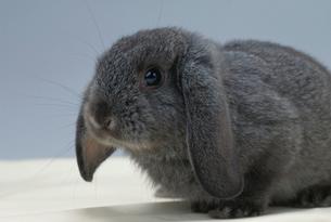ウサギ(ロップイヤー)の写真素材 [FYI04064230]