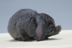 ウサギ(ロップイヤー)の写真素材 [FYI04064231]