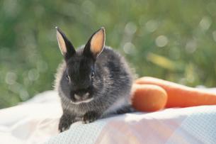 人参2本とウサギ(ネザーランドドワーフ)の写真素材 [FYI04064232]