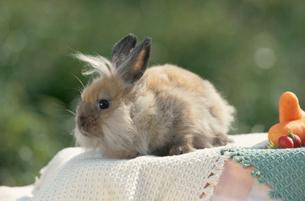 ウサギ(ライオン)とカラフルな野菜の写真素材 [FYI04064234]