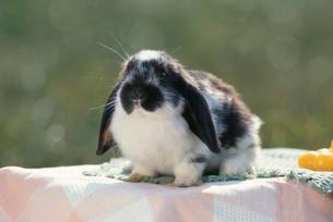 ウサギ(ロップイヤー)の写真素材 [FYI04064236]