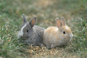 野原に座る2匹のウサギの写真素材 [FYI04064238]