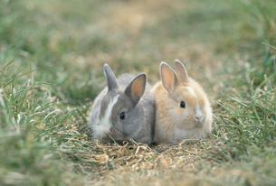 野原に座る2匹のウサギの写真素材 [FYI04064239]