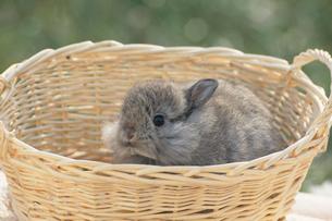 カゴから顔を出すウサギ(アンゴラ)の写真素材 [FYI04064241]