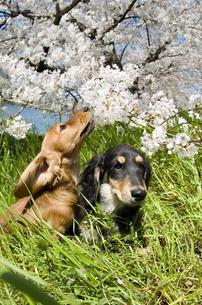 桜の木の下の2匹の犬の写真素材 [FYI04064306]