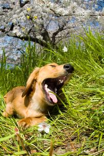 桜の木の下の犬の写真素材 [FYI04064308]