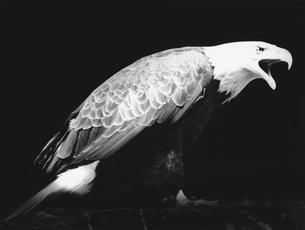 白頭ワシの写真素材 [FYI04064493]