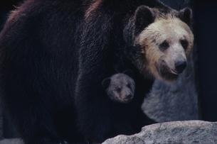 クマの写真素材 [FYI04064506]