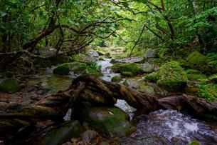 西表島のジャングルの写真素材 [FYI04065253]