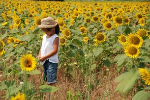 女の子とヒマワリ畑の写真素材 [FYI04066289]