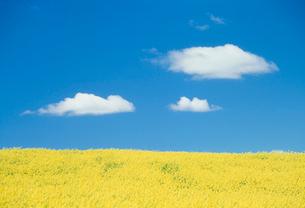 菜の花畑とわた雲の写真素材 [FYI04066877]