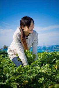 ダイコンを収穫する20代の女性の写真素材 [FYI04066891]