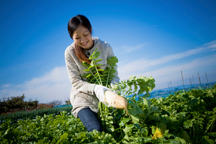ダイコンを収穫する20代の女性の写真素材 [FYI04066892]