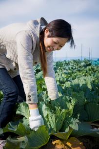 キャベツを収穫する20代の女性の写真素材 [FYI04066895]