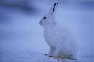 北極圏のユキウサギの写真素材 [FYI04066915]