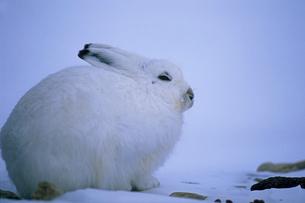 北極圏のユキウサギの写真素材 [FYI04066918]