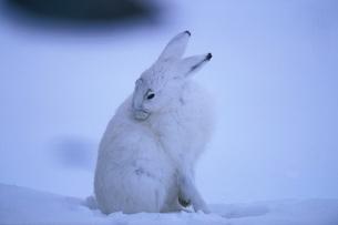 北極圏のユキウサギの写真素材 [FYI04066919]
