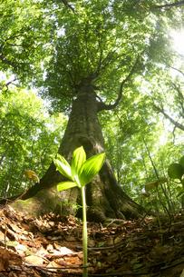 森の巨木とそばに生えた新芽の写真素材 [FYI04067935]