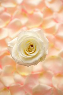 白い一輪のバラとピンク色の花びらの背景の写真素材 [FYI04068060]