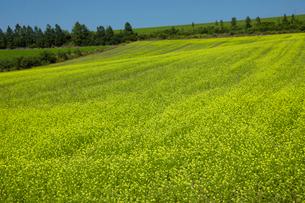 キガラシの咲く丘の写真素材 [FYI04068127]