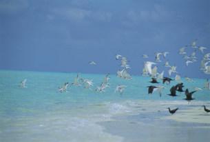 ビーチを飛ぶアジサシの群れの写真素材 [FYI04068230]