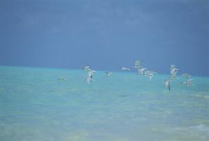 ビーチを飛ぶアジサシの群れの写真素材 [FYI04068231]