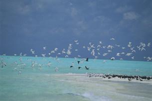 ビーチを飛ぶアジサシの群れの写真素材 [FYI04068232]