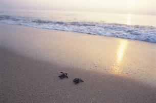 孵化後海に帰る子ガメ(アカウミガメ)の写真素材 [FYI04068302]