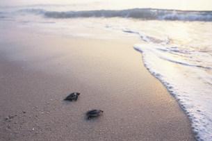 孵化後海に帰る子ガメ(アカウミガメ)の写真素材 [FYI04068303]
