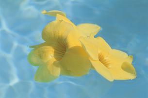 水面に浮かぶアラマンダの写真素材 [FYI04068326]
