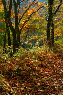 紅葉の旧中山道・鳥居峠の栃の木群生地,の写真素材 [FYI04068502]
