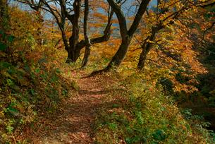 紅葉の旧中山道・鳥居峠の栃の木群生地,の写真素材 [FYI04068504]