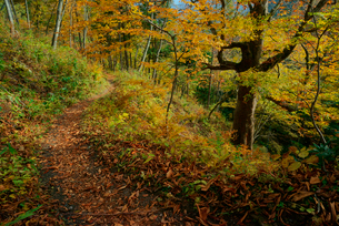 紅葉の旧中山道・鳥居峠の栃の木群生地,の写真素材 [FYI04068505]