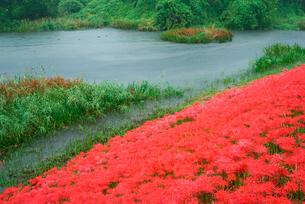 津屋川堤防のヒガンバナの写真素材 [FYI04068512]