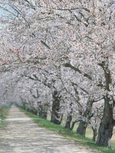 ソメイヨシノの桜並木の写真素材 [FYI04069048]