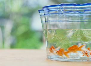 金魚と金魚鉢の写真素材 [FYI04069053]