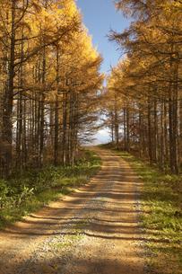 黄葉の落松と木漏れ日の道の写真素材 [FYI04070234]