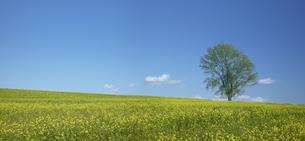 キガラシの丘と一本の木と青空の写真素材 [FYI04070243]
