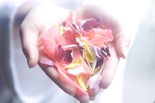 両手いっぱいに持った花びらの写真素材 [FYI04070396]
