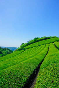 茶畑の写真素材 [FYI04071325]